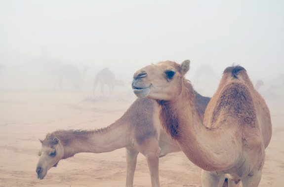 camels-abu-dhabi