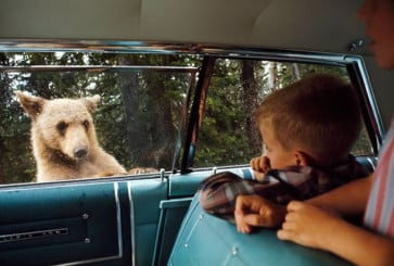 bear_car_yellowstone