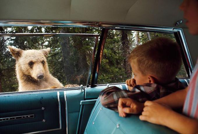 bear_car_yellowstone
