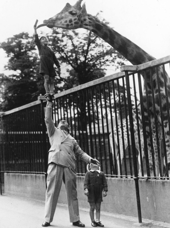 A dad with his sons feeding a giraffe, London, 1950s