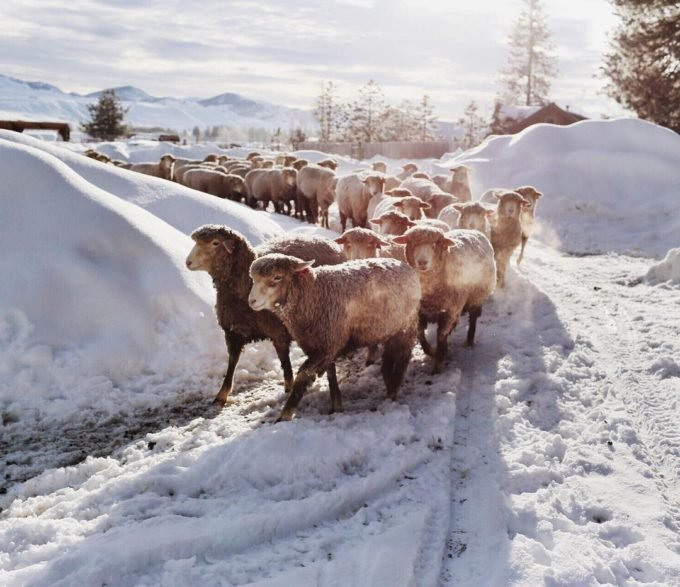 Winter sheep by Brooke Fitts