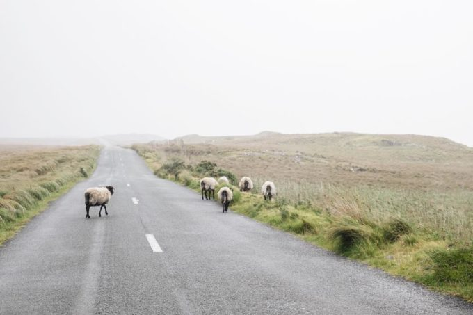 Sheep in Ireland by Emily Billings