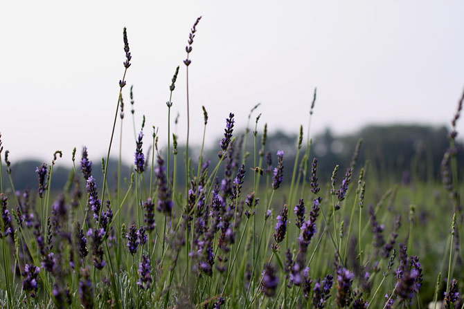 North Fork lavender fields