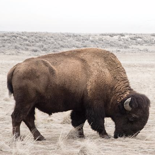Bison from Juniper Print Shop