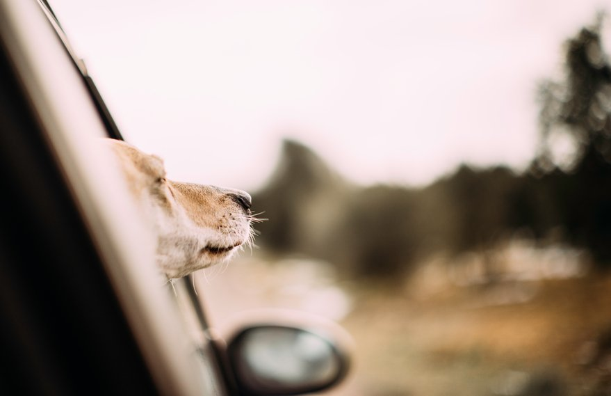 dog out a car window
