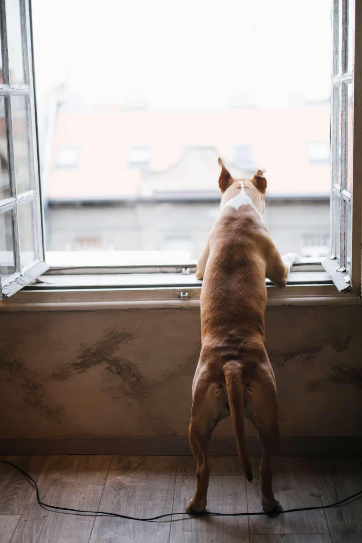 dog at window